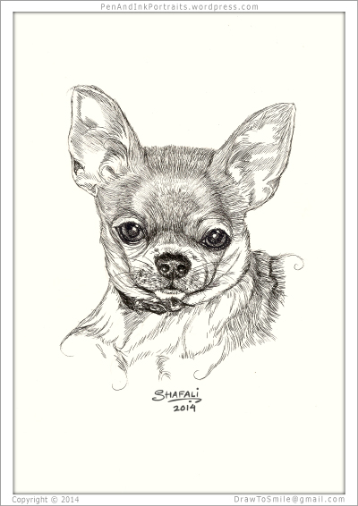 Portrait of chihuahua done in pen and ink - Custom Portrait Commissions of Pets by Shafali - Animal drawings, Illustrations, Sketches, Wildlife art, Artworks etc. in black and white.