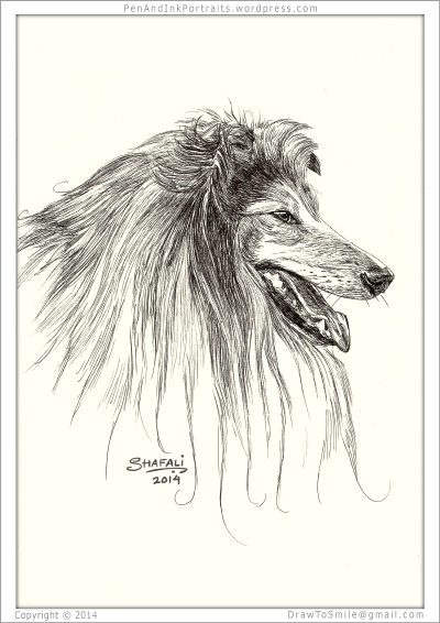 Portrait of Rough Collie done in pen and ink - Custom Portrait Commissions of Pets by Shafali - Animal drawings, Sketches, Wildlife art, Artworks etc. in black and white.