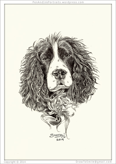 Portrait of Springer Spaniel done in pen and ink - Custom Portrait Commissions of Pets by Shafali - Animal drawings, Illustrations, Sketches, Wildlife art, Artworks etc. in black and white.
